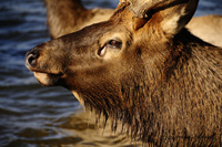 Elk at Lake