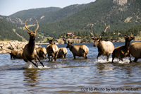 Frolicking Elk in the Lake