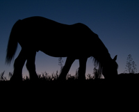 Clydesdale at Dusk 1